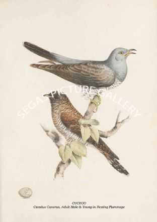 CUCKOO - Cuculus Canorus, Adult Male & Young in Nesting Plummage